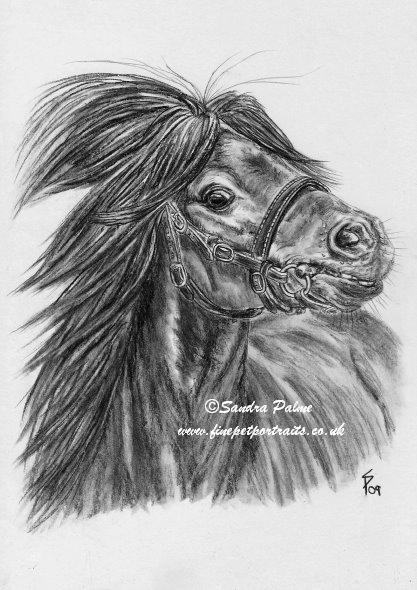 Shetlandpony Minishetty Hengst Zeichnung