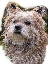 Cairn Terrier Vorlage