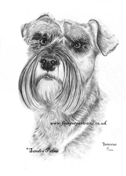 Zwergschnauzer Zeichnung Kohle Hund
