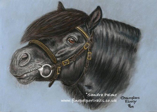 Champlers Ebony Shetlandponyhengst Portrait