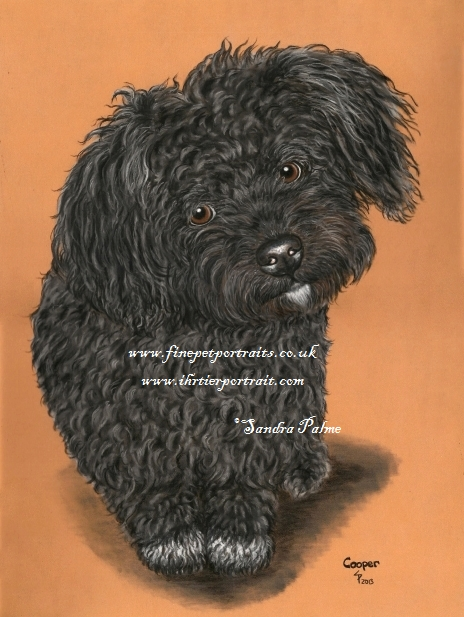 Bolonka Zwetna Portrait Hund