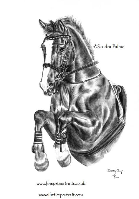 Irisches Sportpferd Kohlezeichnung