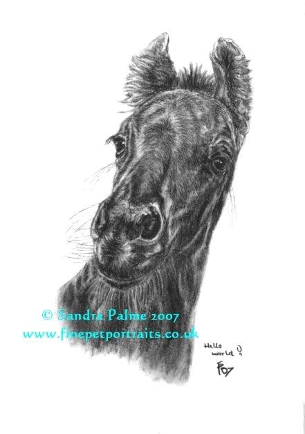 Friesenfohlen Pferd Portrait