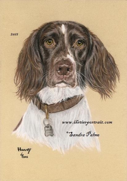 Springer Spaniel Hundeportrait