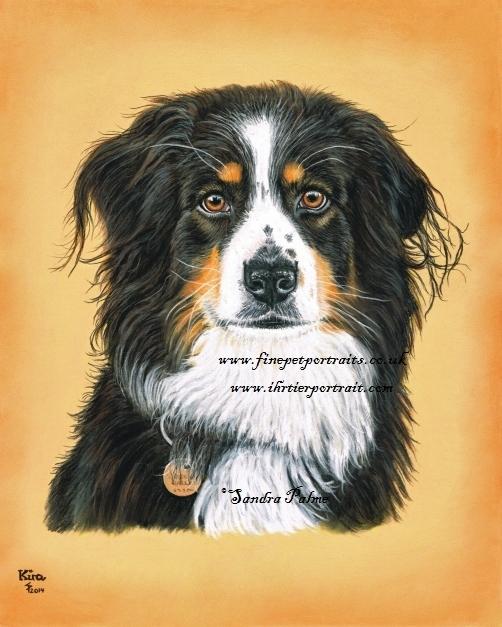 Australian Shepherd Hundeportrait