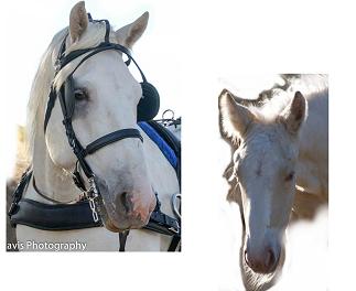 Pferd Fohlen Vorlage