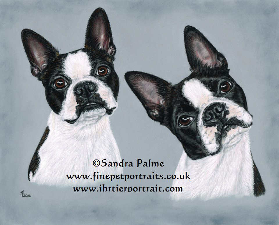 Boston Terrier Hundeportrait