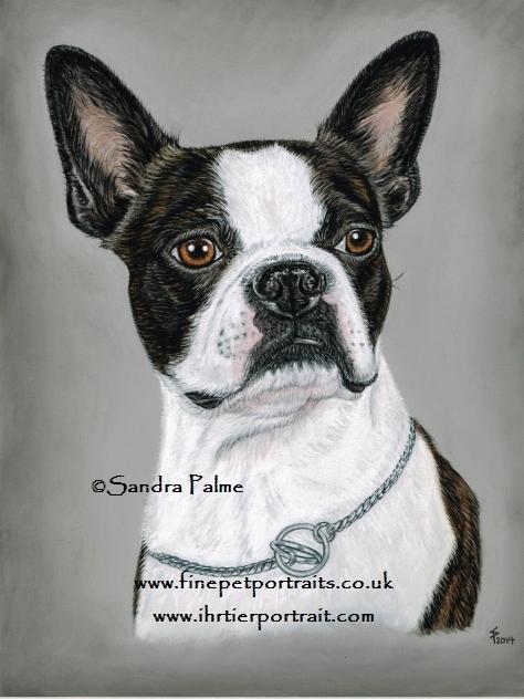 Boston Terrier Hunde-Portrait