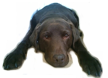 Labrador Vorlage
