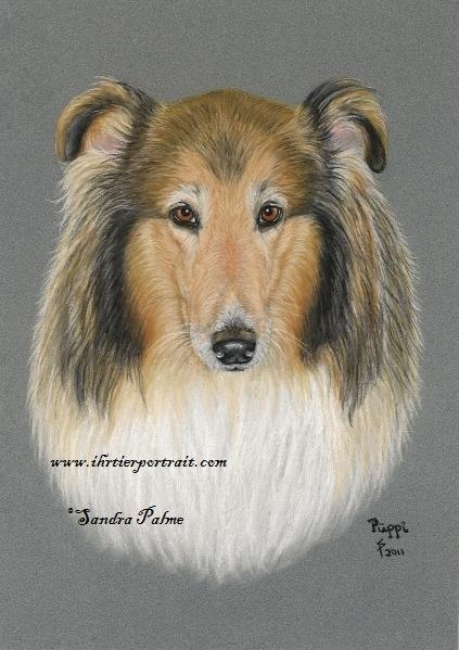 Collie Hund Portrait