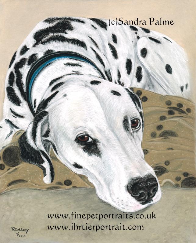 Dalmatiner Hund Tierportrait