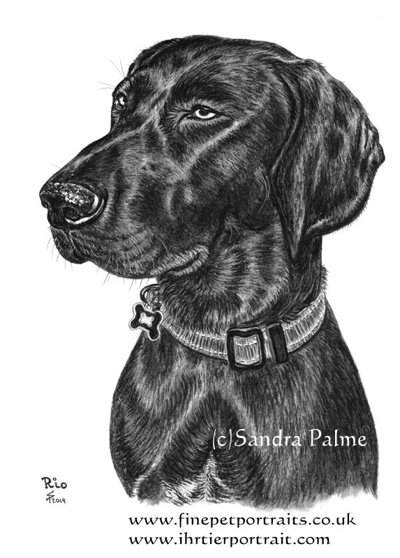 Schwarzer Deutsch Kurzhaar Hund Zeichnung