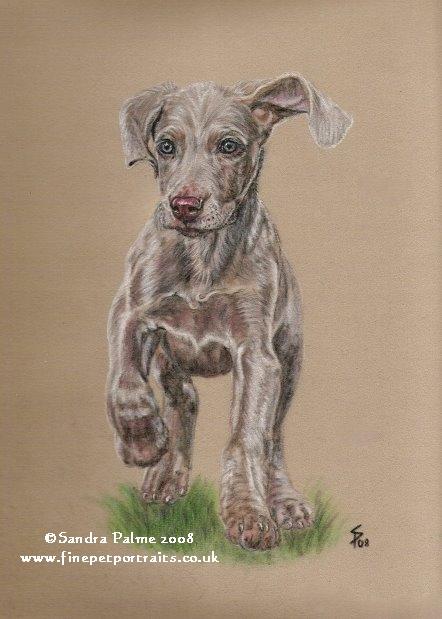 Weimaraner Welpe Hundeportrait