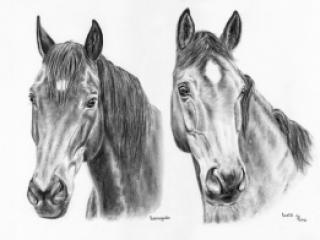 Warmblut-Pferde