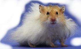 Hamster Gizmo Foto