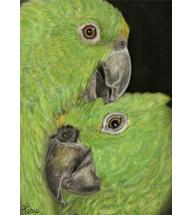 Gelbstirn-Amazonen