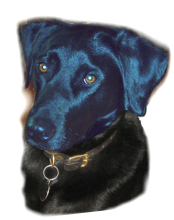 Labrador Vorlagefoto