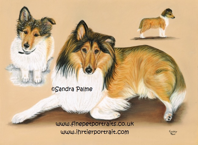 Collie Hunde-Portrait