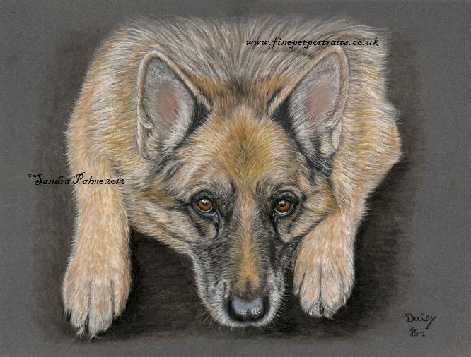 Schäferhund Portrait