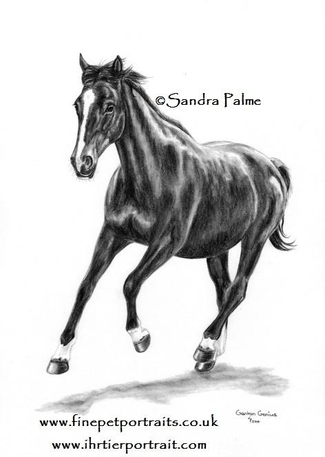 Belgisches Sportpferd Zeichnung
