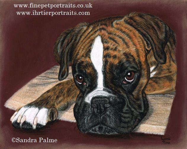 Boxer Hunde-Portrait