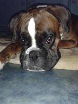 Boxer Vorlagefoto