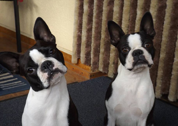 Boston Terrier Vorlagefoto