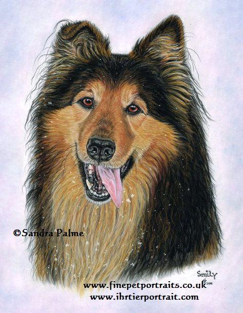 Collie Schäferhund Portrait
